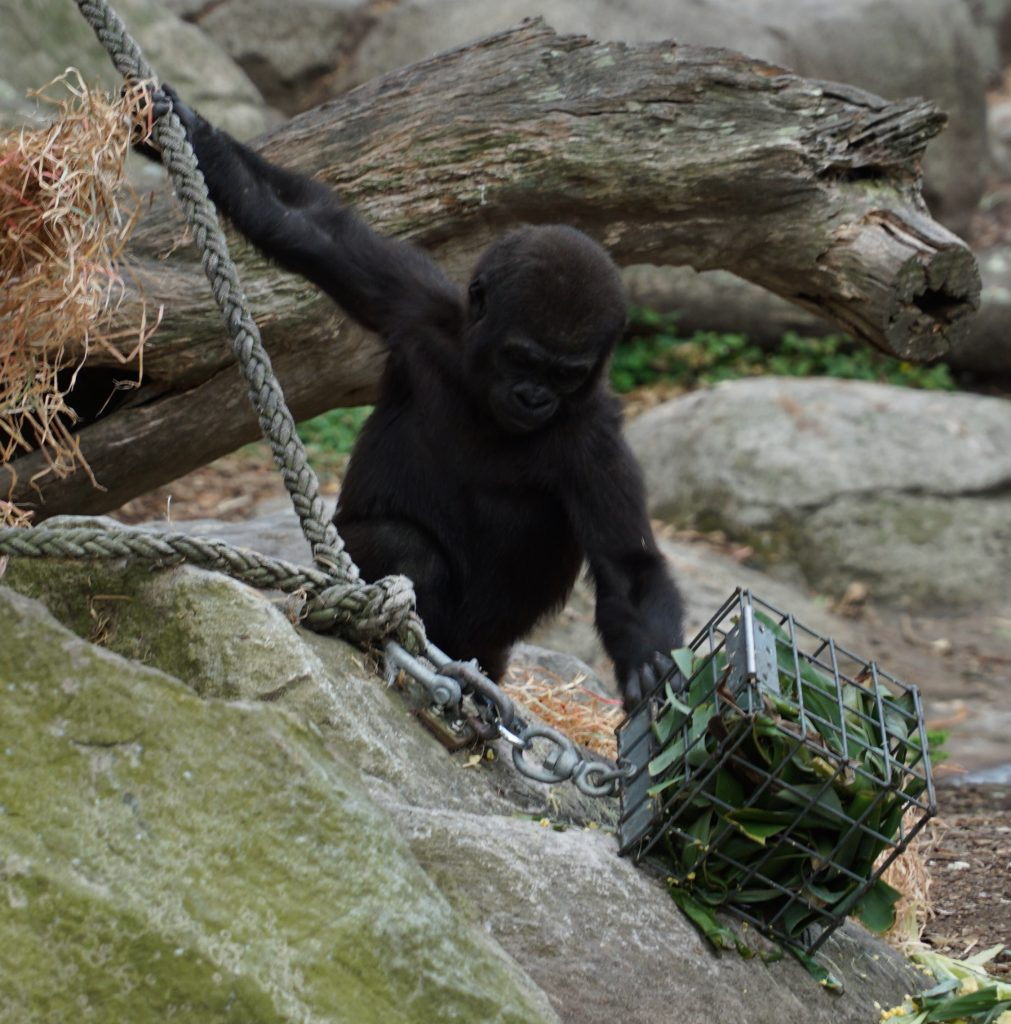 baby gorilla at taronga zoo