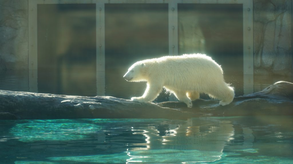 Polar bears at sea world