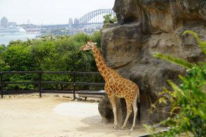 Giraffe Sydney zoo