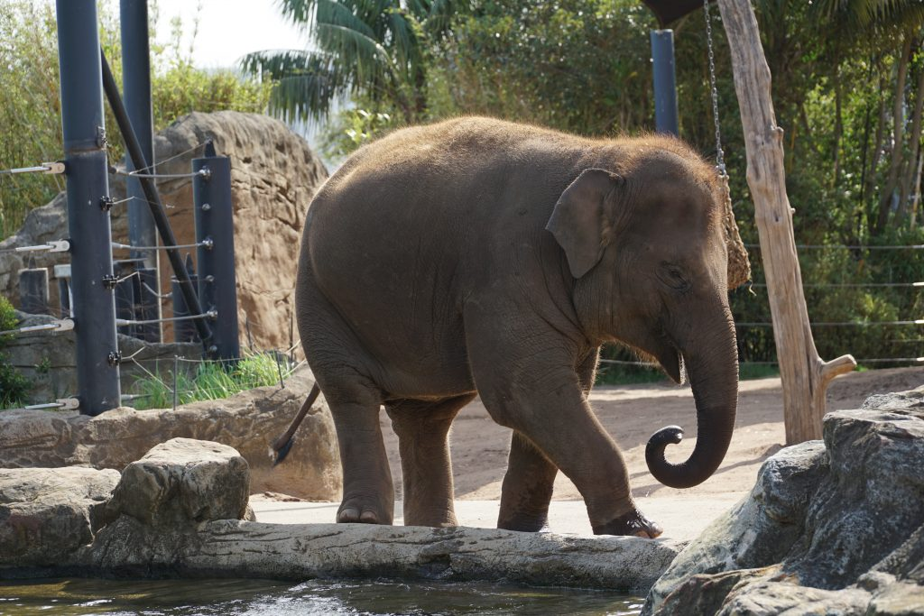 elephant at Sydney zoo