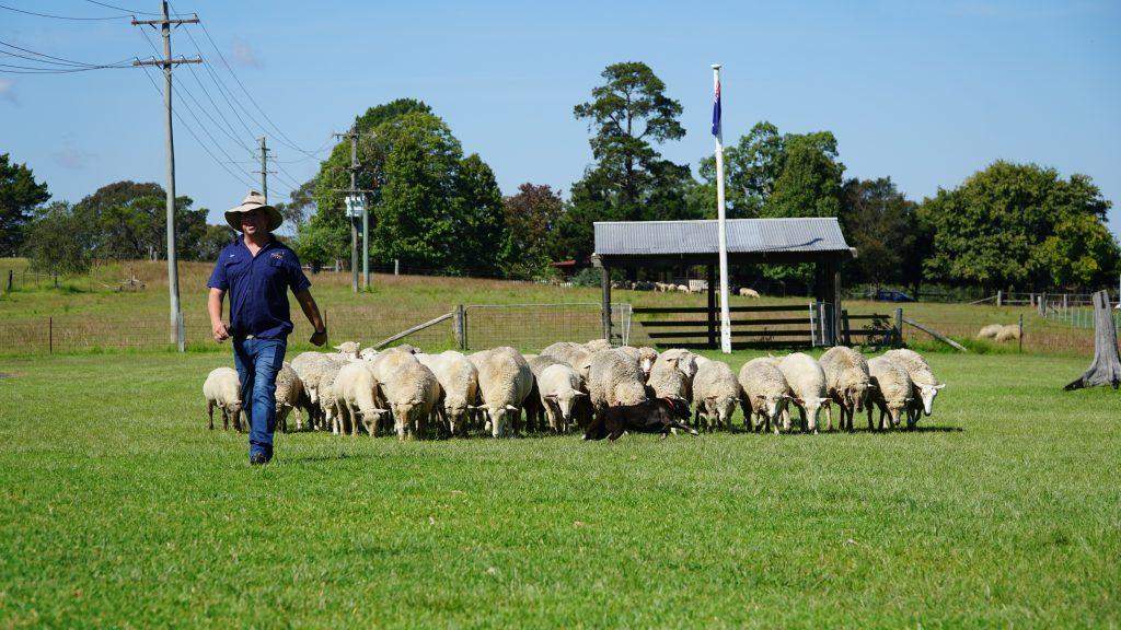Dog rounding up sheep