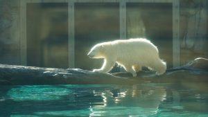 Polar bears at sea world
